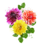 Watercolor Image Of  Dahlia Flowers Royalty Free Stock Photo
