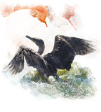 Watercolor Image Of  Double-crested Cormorant. Watercolor Digital Painting Of  A Double-crested Cormorant Stock Image