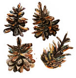 Watercolor image of fir cone on white background Royalty Free Stock Photo