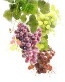 Watercolor Image Of Grapes Royalty Free Stock Photo