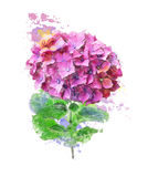 Watercolor Image Of Hydrangea Flower Stock Photo