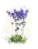 Watercolor Image Of  Lavender Flowers Royalty Free Stock Photo