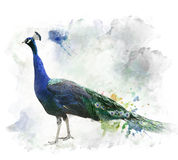 Watercolor Image Of Peacock Royalty Free Stock Photos