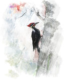 Watercolor Image Of  Pileated Woodpecker (Dryocopus pileatus) Royalty Free Stock Images