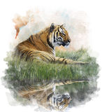 Watercolor Image Of  Tiger Royalty Free Stock Image