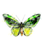 Watercolor Image Of Tropical Butterfly Royalty Free Stock Image