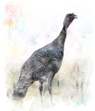 Watercolor Image Of  Turkey Bird Stock Image