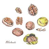 Watercolor and ink illustrations of different nuts. Hand drawn different walnuts isolated on the white background Stock Image