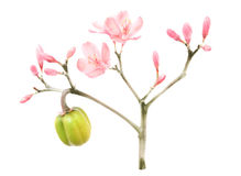 Watercolor and ink pink spring blossom Royalty Free Stock Images