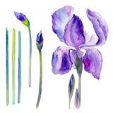 Watercolor Iris Flower, Bud Hand Drawn Botanical Illustration Stock Image