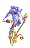 Watercolor iris. Illustration hand drawn watercolor iris Royalty Free Stock Photos