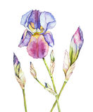 Watercolor with iris. On white stock illustration