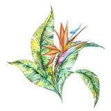 Watercolor isolated illustration of Strelitzia reginae and leaves, tropical flower composition on a white background Royalty Free Stock Images