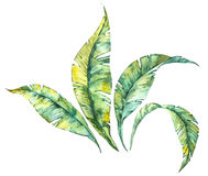 Watercolor isolated illustration of tropical leaves composition on a white background Stock Images