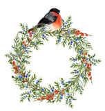 Watercolor juniper wreath with red berries and bullfinch. Hand painted evergreen branch with berries and bird on white. Background. Botanical illustration for vector illustration