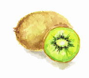 watercolor kiwi. Stock Photography