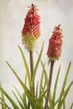 Watercolor Kniphofia Royalty Free Stock Photo