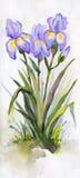 Watercolor landscape. Lush purple irises in the park Stock Images