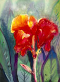 Watercolor landscape original painting colorful of canna lily flowers. Royalty Free Stock Image