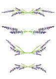 Watercolor lavender branches, design elements, illustration. Watercolor hand painted lavender branches, scanned and isolated on white background, design elements Stock Image