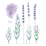 Watercolor lavender collection Royalty Free Stock Photography