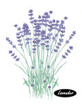 Watercolor lavender. Lavandula. Or lavender. Flowering plant in the mint family, Lamiaceae. Lavandula angustifolia. Herbs spices. Healthy food natural organic stock illustration