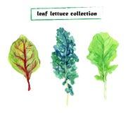 Watercolor leaf lettuce Stock Photos