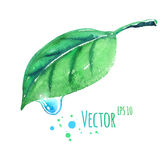 Watercolor leaf with water drop Royalty Free Stock Photography