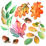 Watercolor leaves and acorns. On white background Stock Image