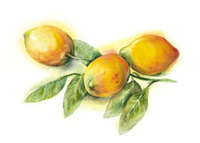 Watercolor -Lemons- Royalty Free Stock Photos