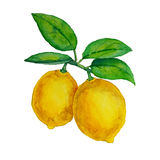 Watercolor lemons hanging on branch with leaves Royalty Free Stock Images