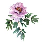 Watercolor light pink tree-like peony with leaves on white background. Fresh flowering peony. Watercolor illustration Stock Images