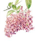Lilac stock illustration