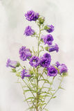 Watercolor Lilac campanula Stock Image