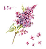 Watercolor lilac flower Royalty Free Stock Photography