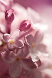 Watercolor lilac flowers Stock Images