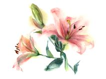 Watercolor lilies. Watercolor painting flowers. Pink Lily on a white background Royalty Free Stock Images