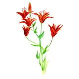 Watercolor lilies Royalty Free Stock Image