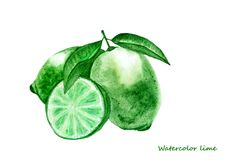 Watercolor lime. Isolated citrus fruit illustration royalty free stock image