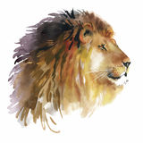 Watercolor lion on a white background vector Royalty Free Stock Images