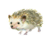 Watercolor little hedgehog. stock images