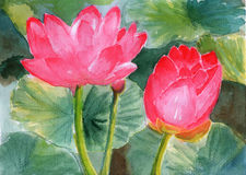 Watercolor lotus. On paper, pink lotus and green leaves in the summer Royalty Free Stock Images
