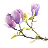 Watercolor magnolia flowers Royalty Free Stock Images