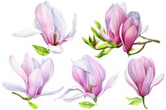Watercolor Magnolia, spring flowers on white background, floral clipart