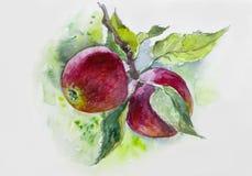 watercolor Manzanas rojas maduras en rama pintura, huerta, caída, rama, luz del sol, papel pintado, maduro, n Fotos de archivo