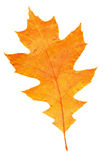 Watercolor maple leaf, autumn background Royalty Free Stock Photos