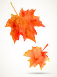 Watercolor maple leaves Royalty Free Stock Photos