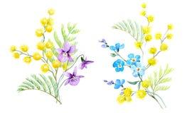 Watercolor mimosa illustration. Beautiful illustration of hand drawn watercolor mimosa flowers vector illustration