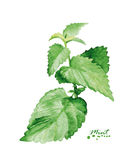 Watercolor mint branch Stock Photo