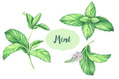 Watercolor mint collection. Mint leaf with mint flower isolated on white background. Watercolor mint collection. Hand drawn illustration of the fresh mint Royalty Free Stock Images